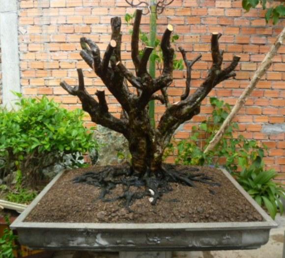 Rễ bonsai