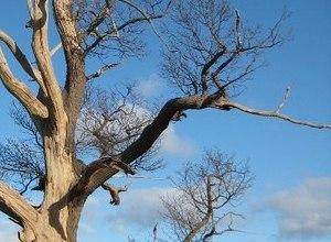 Cành nhánh bonsai