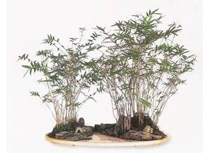 Tre Trúc bonsai